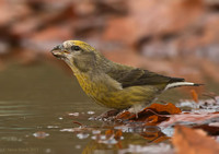 Female Crossbill