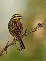 Cirl bunting (male)