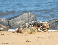Grey seal after giving birth