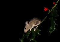 Wood mouse and Holly