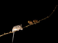 Wood mouse on Larch