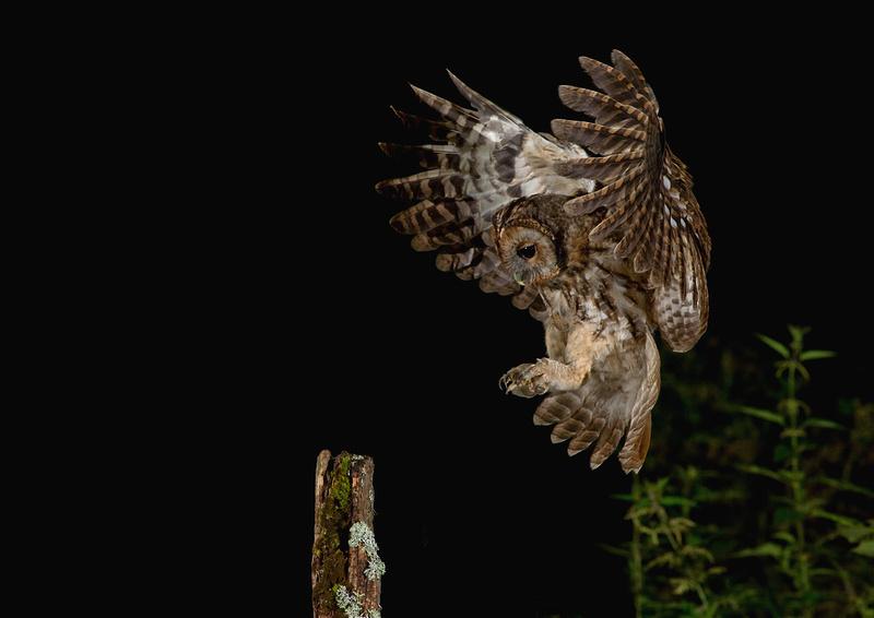 Tawny owl juvenile