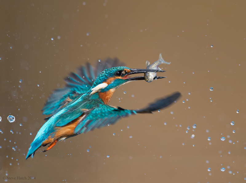 Male kingfisher