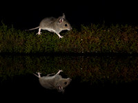 Wood mouse reflection