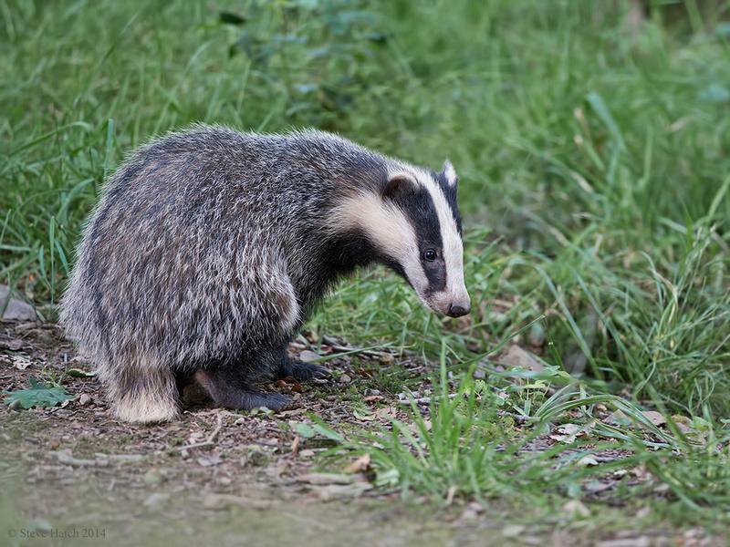 Badger (male)